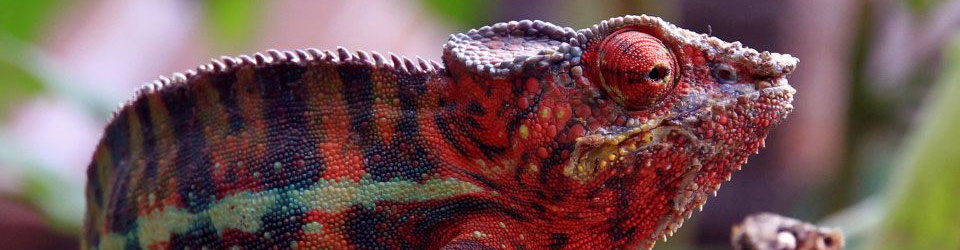Madagaskar Reisen individuell Chamäleon PRIORI