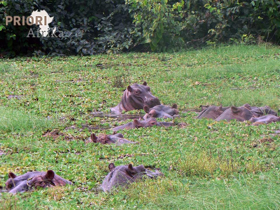 Guinea-Bissau Reisen Flusspferde PRIORI Afrika