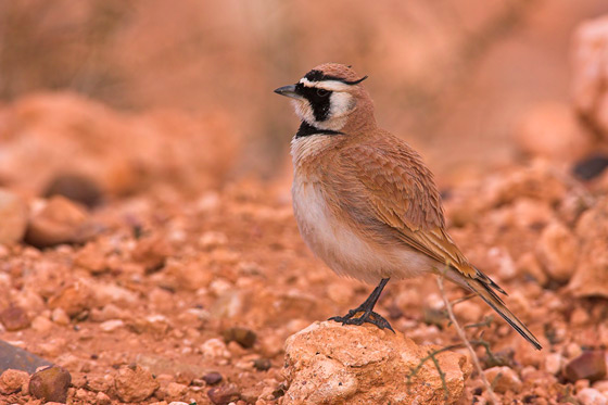 Vogelreise Marokko