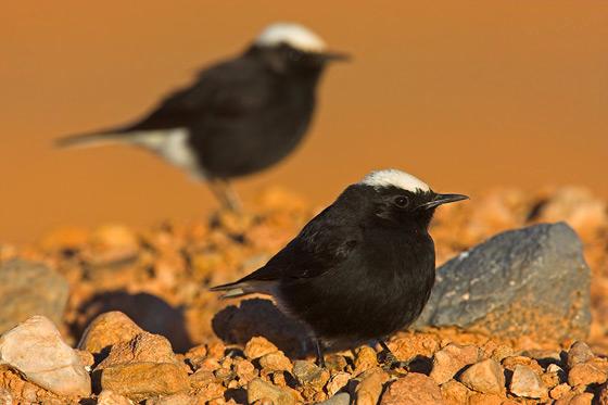 Marokko Vogel Saharasteinschmätzer Reise