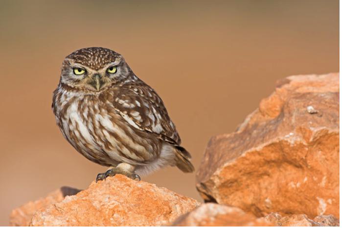 Marokko Reise Vögel Ornithologie Steinkauz