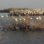 Flussfahrt auf dem Senegal: pelikane