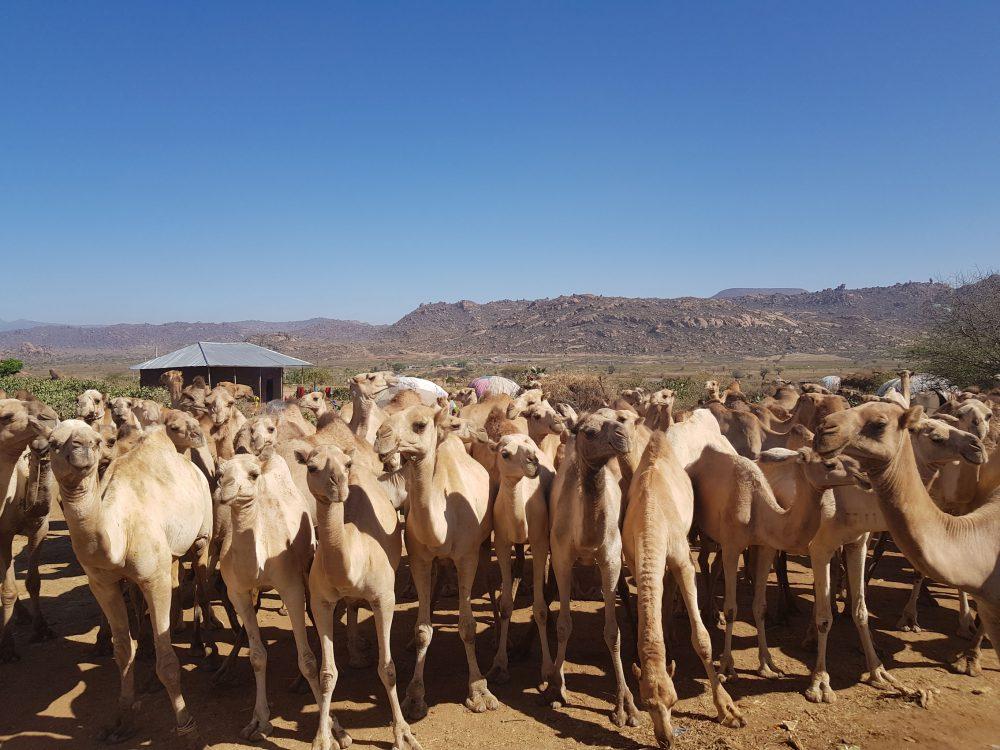Kamelmarkt Äthiopien
